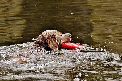 Dog, Swim, Wet, Water, Funny, Cute, Animal, Pet