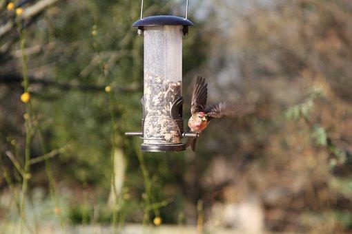Linnet, Garden Bird, British, Warwickshire, Bird, Finch