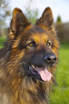Dog, German Shepherd, Animal, Meadow, Grass, Coat, Paw