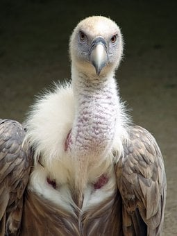 Gyps Fulvus, Griffin Vulture, Bird, Nature, Outside
