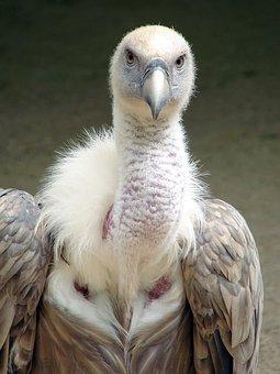 Griffon Vulture, Vulture, Griffon, Bird, Gyps