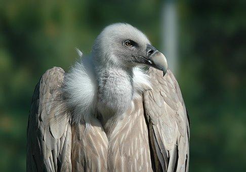 Vulture, Bird, Raptor, Animals, Griffon Vulture