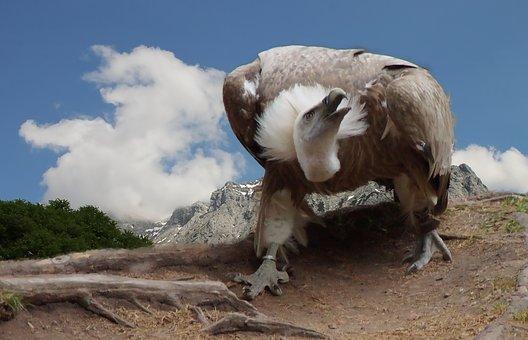 Vulture, Griffon Vulture, Bird, Close Up