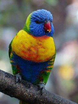 Lori, Parrot, Food, Eat, Bird, Loriinae, Honey Parrot