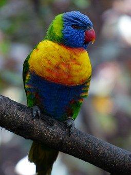 Lorikeet, Lori, Parrot, Bird, Loriinae, Honey Parrot