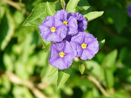 Lycianthes Rantonnetii, Solanum Rantonnetii, Lycianthes