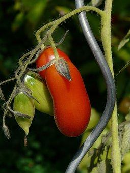Tomato, Vegetables, Red, Mature, Tomato Breeding