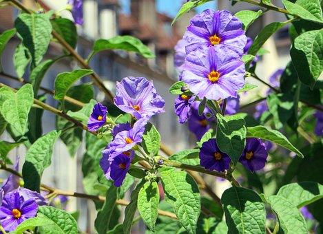 Solanum, Solanum Rantonnetii, Nightshade, Violet
