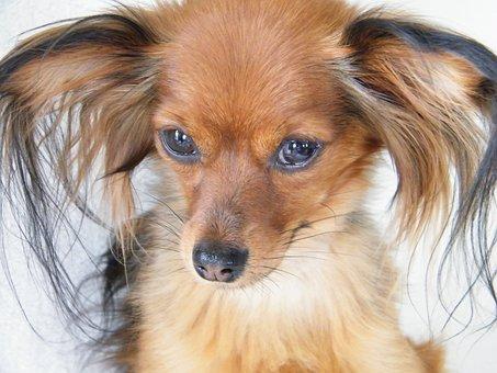 Russkiy Toy, Breeding, Joeberger, Dog, Petit, Big Ears