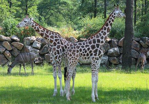 Pilsen Zoo, Giraffes, Two-headed Giraffe
