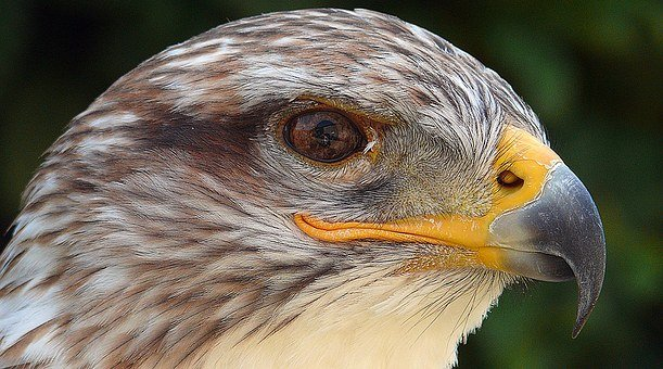 Is Bird Feather, Molt, Adler, Eye, Bach, Mountain, Prey