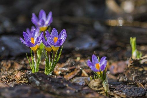 Purple Crocus, Spring, Flower, Purple, Yellow, Dew