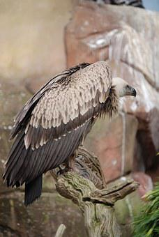 Vulture, Griffon Vulture, Scavenger, Beak, Gyps Fulvus