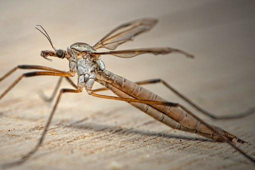 Tipulidae, Schnake, Bach Mosquito, Horse Mosquito