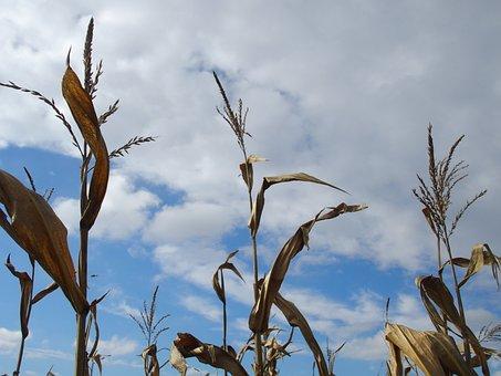 Corn, Sky, Field, Nature, Cornfield, Agriculture, Sun