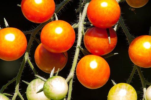 Tomato, Solanum Lycopersicum, Paradeisapfel, Grown