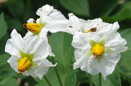 Potato, Domestic Potato, Solanum Tuberosum, Flowers