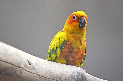 Sun Parakeet, Parakeet, Bird, South American Parrot