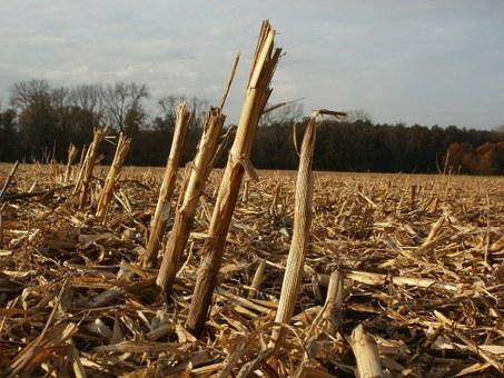 Harvested, Field, Corn, Maize, Stalks, Remains