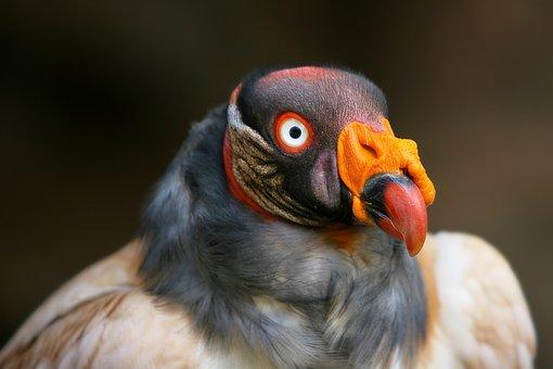Black Vulture, Griffon Vulture, Vulture