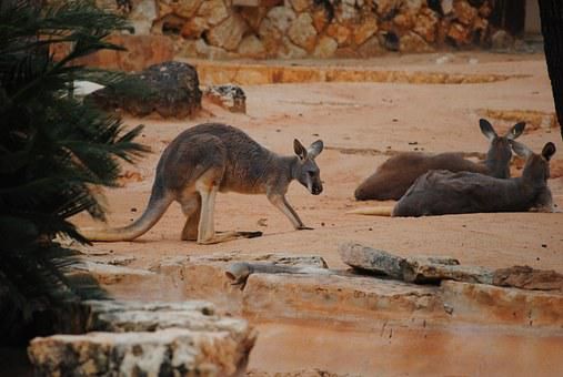 Kangaroo, Brown, Animal, Marsupial, Mammal, Wildlife