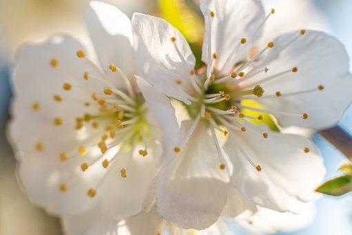 Apple Flowers, Apple Blossoms, Flowers, White Flowers
