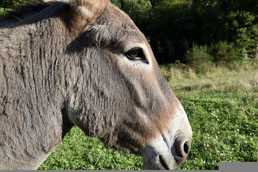 Donkey, Ass, Animal, Equine, Mammal, Animal Portrait
