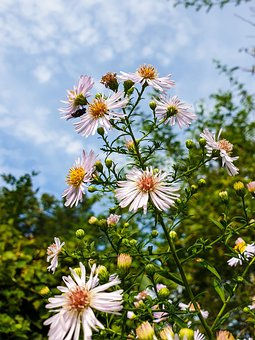 Daisies, Flowers, Bloom, Asters, Blossom, Herbstaster