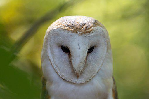 Owl, Barn Owl, Bird, Bird Of Prey, Falconry, Animal