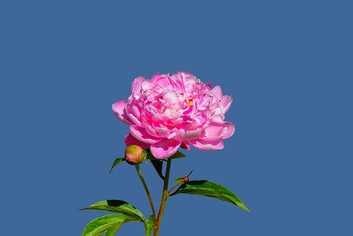 Peony, Flower, Pink Flower, Blossom, Bloom