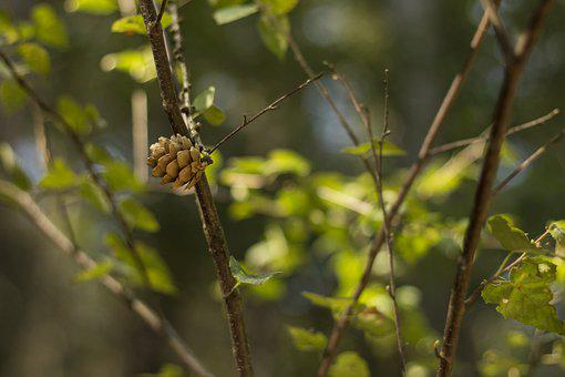 Pine Cone, Tree, Branches, Leaves