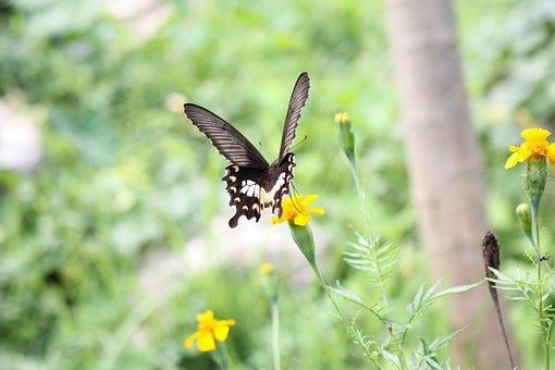 Flower, Butterfly, Pollination, Swallowtail Butterfly