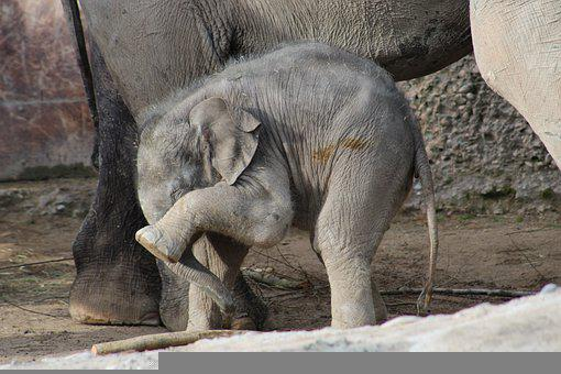 Calf, Elephant, Animal, Baby Elephant, Young Elephant