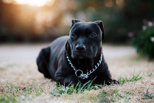 Pit Bull, Dog, Black Dog, Black Pit Bull, Pet, Canine