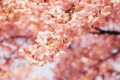 Cherry Blossom, Flowers, Tree, Branch, Bloom, Blossom