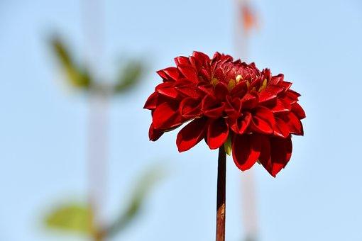 Dahlia, Red Dahlia, Flower, Red Flower, Bloom, Blossom