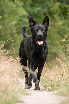German Sheprador, Black Dog, Dog, Animal, Canine