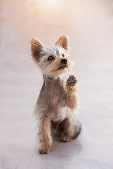 Yorkshire Terrier, Yorkie, Puppy, Dog, Pup, Pet, Cute