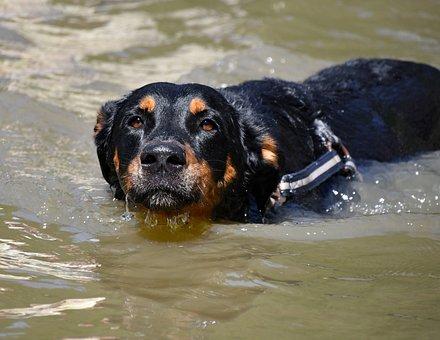 Dog, Swimming, Pond, Beauceron