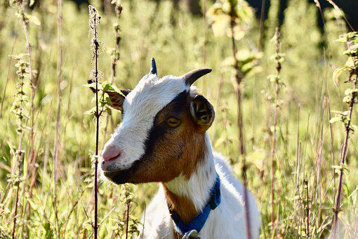 Goat, Ruminant, Animal, Domestic Goat, Mammal