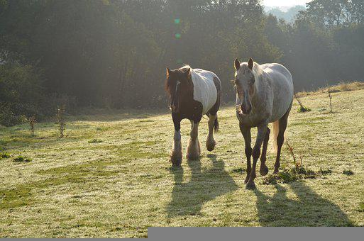 Horses, Running, Galloping, Field, Equine, Farm, Ranch