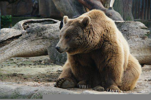 Bear, Mammal, Fur, Sitting, Animal, Fauna, Nature