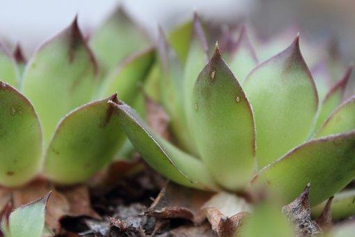 Plants, Succulents, Houseleeks, Flora, Greenery