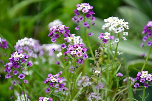 Flowers, Alyssum, Small Flowers, Purple Flowers