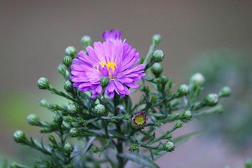 Daisies, Herbstastern, Asters, Buds, Flowers