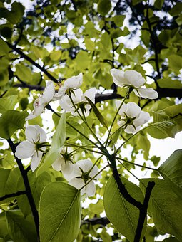 Flowers, White Flowers, Leaves, Foliage, Trees, Plants