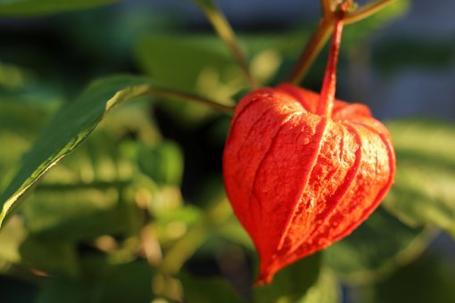 Chinese Lantern Plant, Fruit, Plant, Bladder Cherry