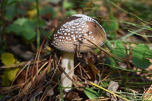 Panther Cap, Mushroom, Toadstool, False Blusher, Fungus