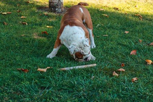 Dog, English Bulldog, Grass, Meadow, Head, Pedigree