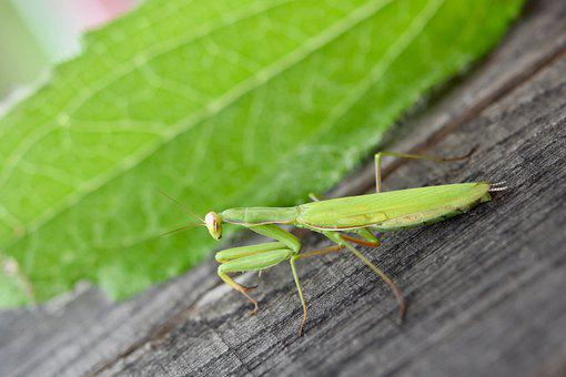 Mantis, Praying Mantis, Insect, Green Insect, Nature